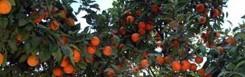 Sinaasappeltuinen